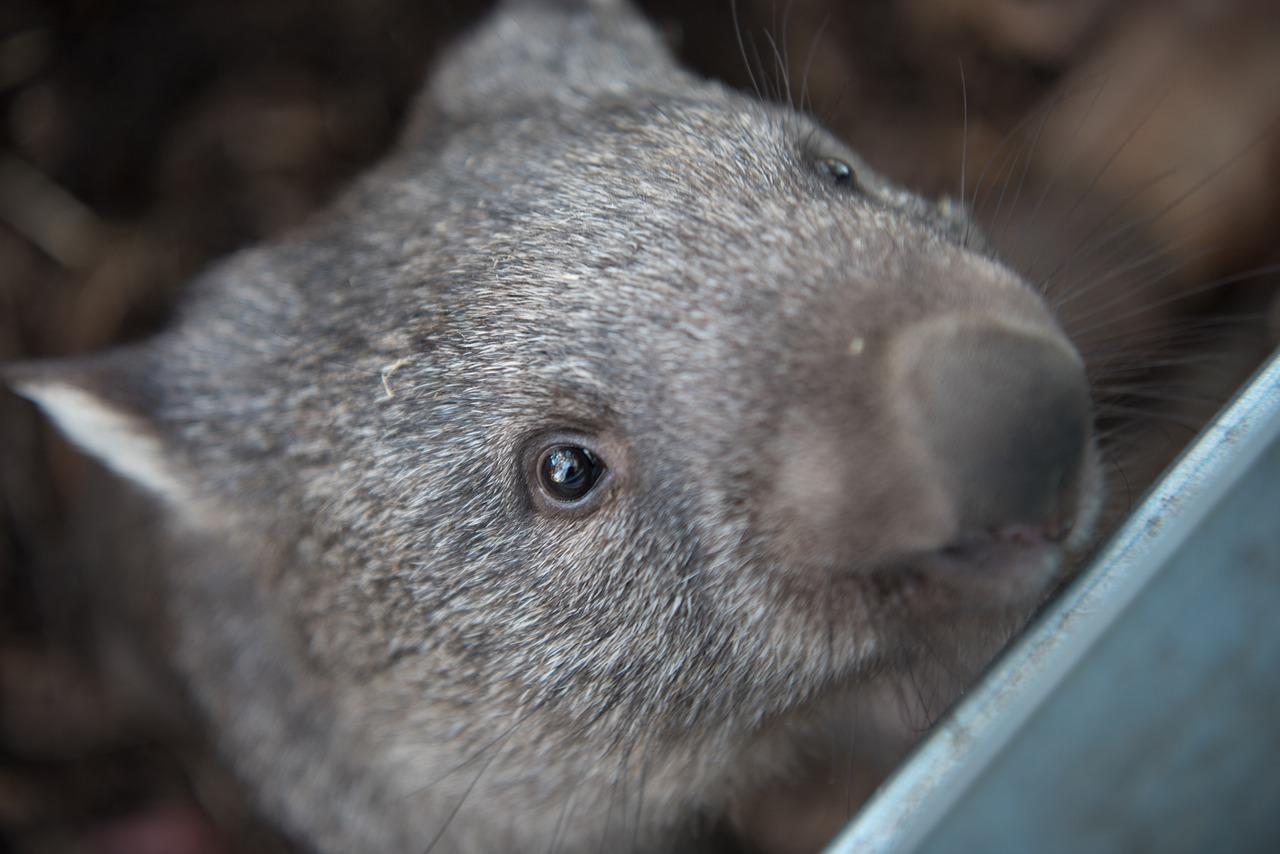 A wombat kaki feltalálója